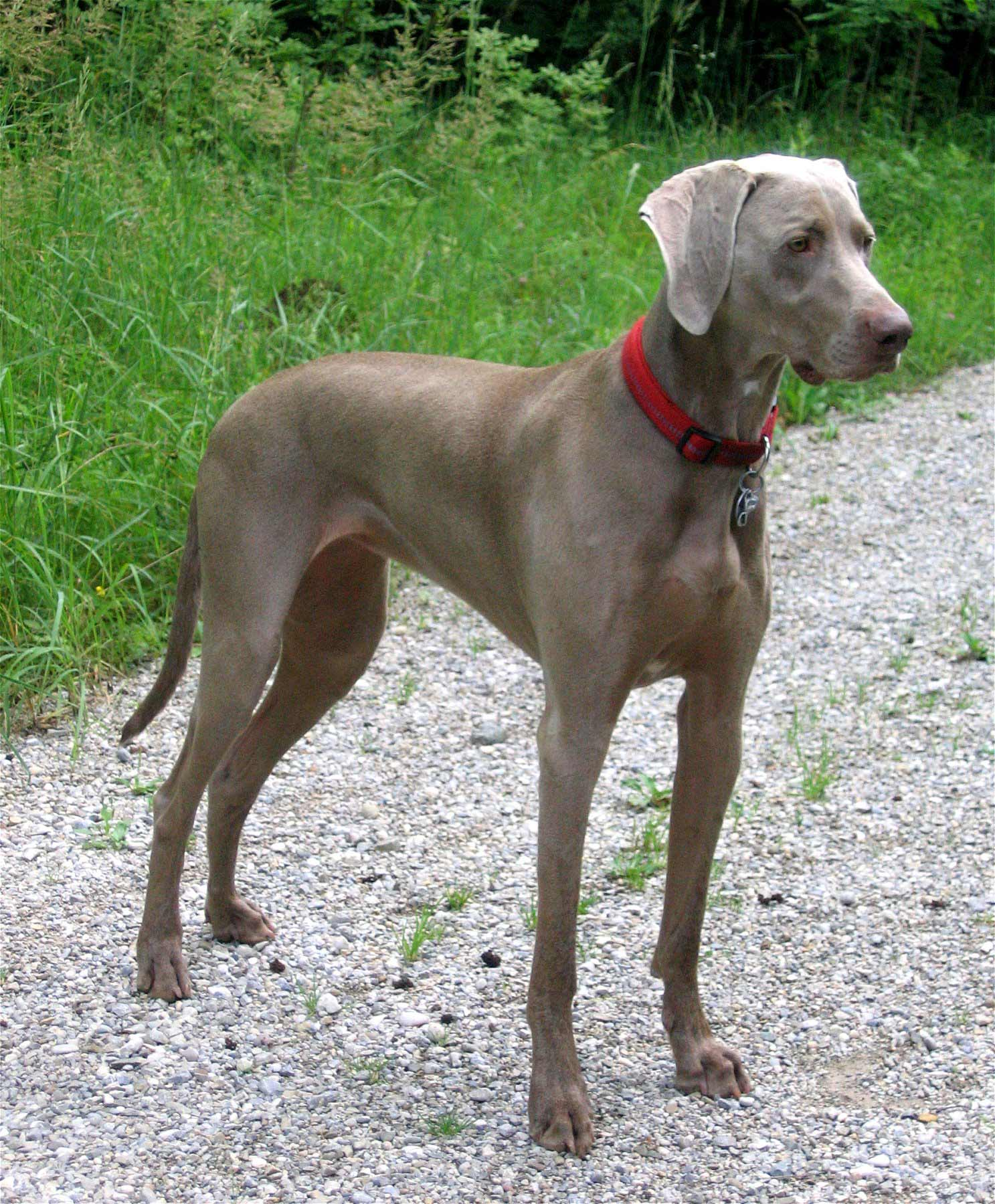 weimaraner dog breed information pictures more. Black Bedroom Furniture Sets. Home Design Ideas