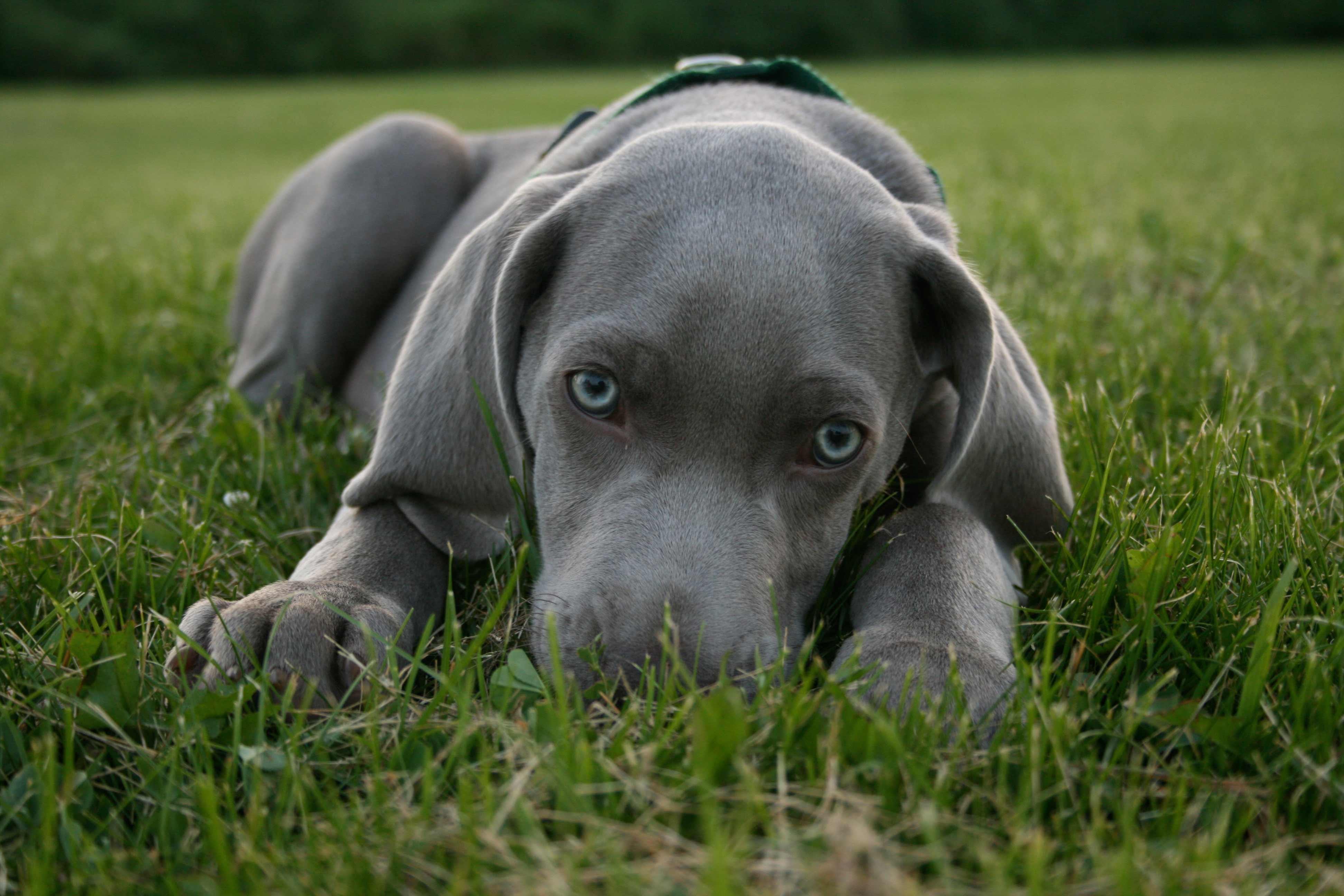 Large Silver Color Dog Breeds