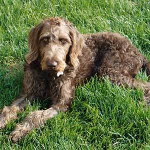 Weimardoodle Dog Breed » Information, Pictures, & More
