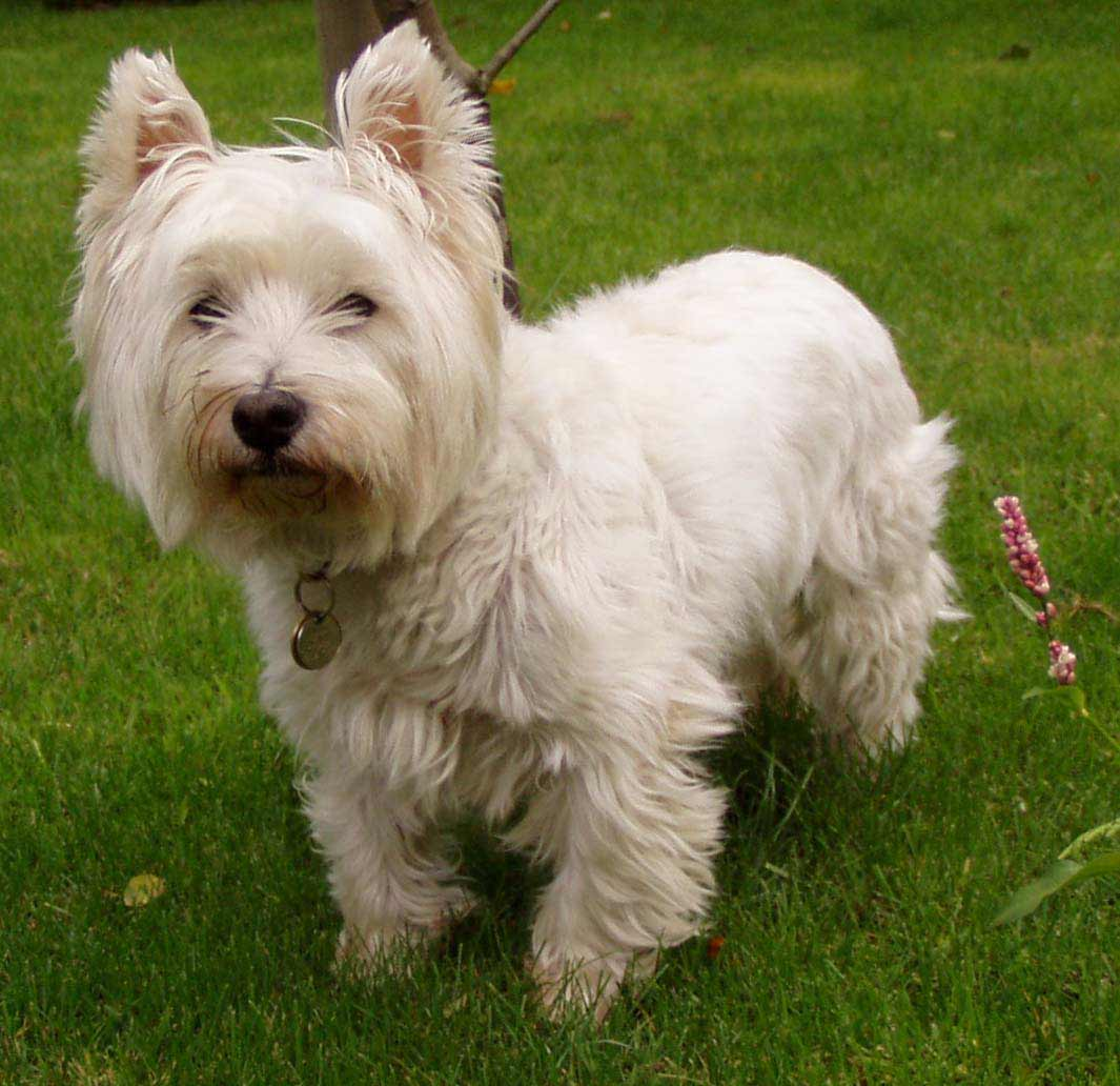 how to train a westie not to bark