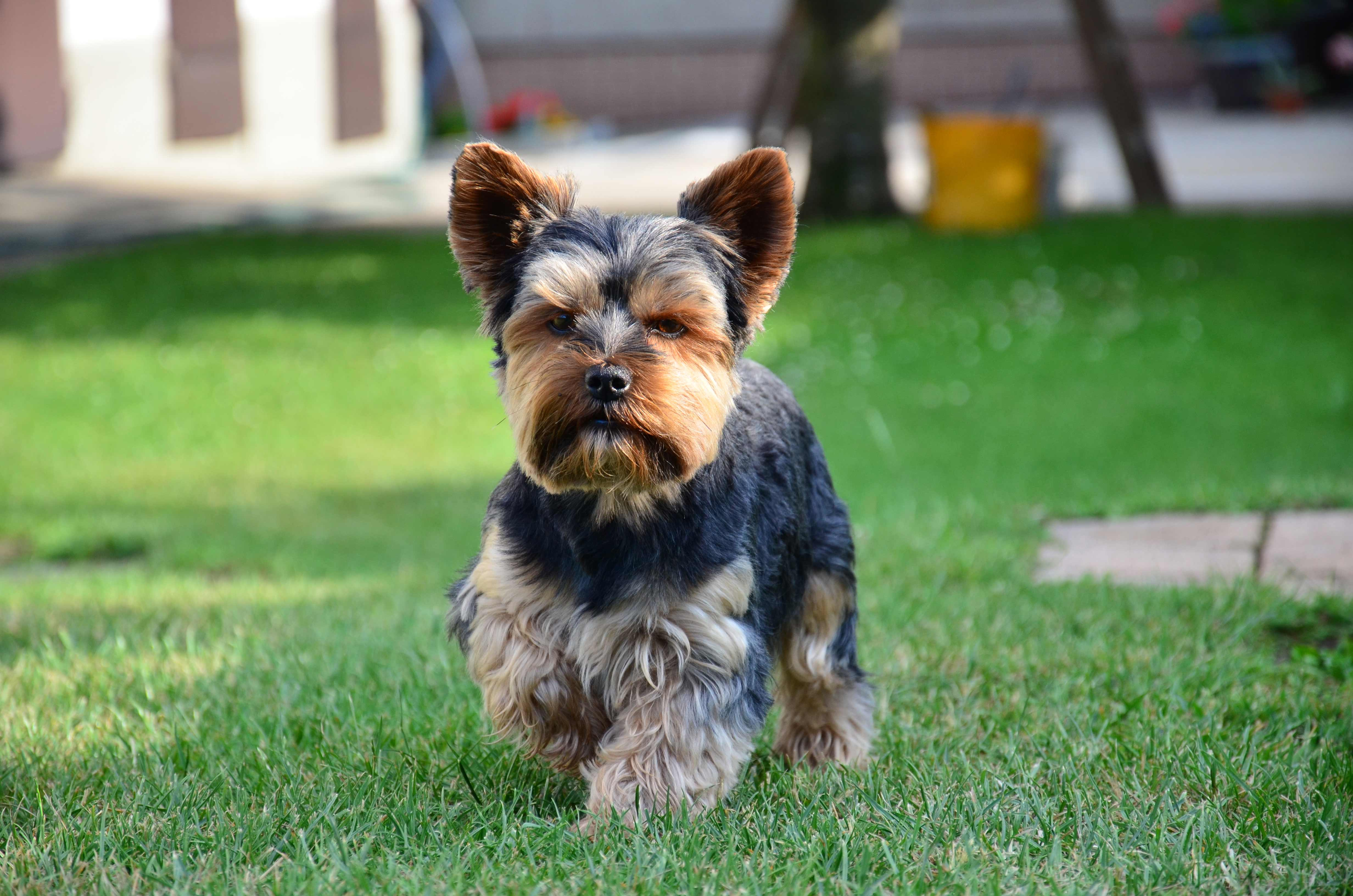 Coloring pictures yorkies - Black Tan Yorkshire Terrier