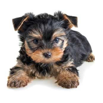 Yorkshire Terrier Dog Breed » Information, Pictures, & More