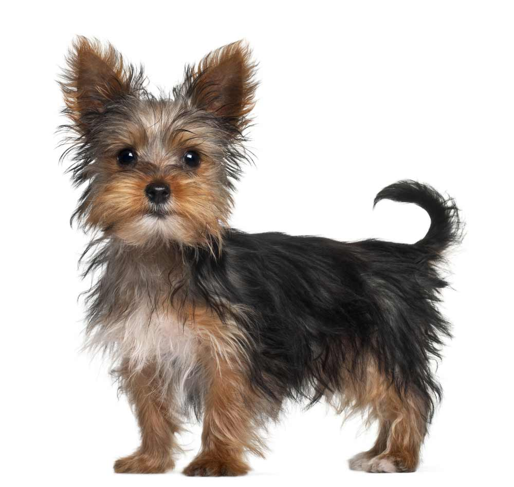 Yorkshire Terrier Dog Breed 187 Information Pictures Amp More