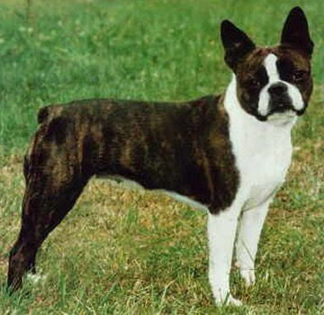 boston terrier brindle boston terrier dog breed 187 information pictures more 1557