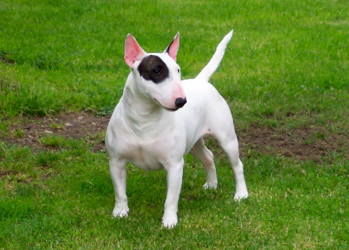 types of bull terrier bull terrier dog breed 187 information pictures more 8358