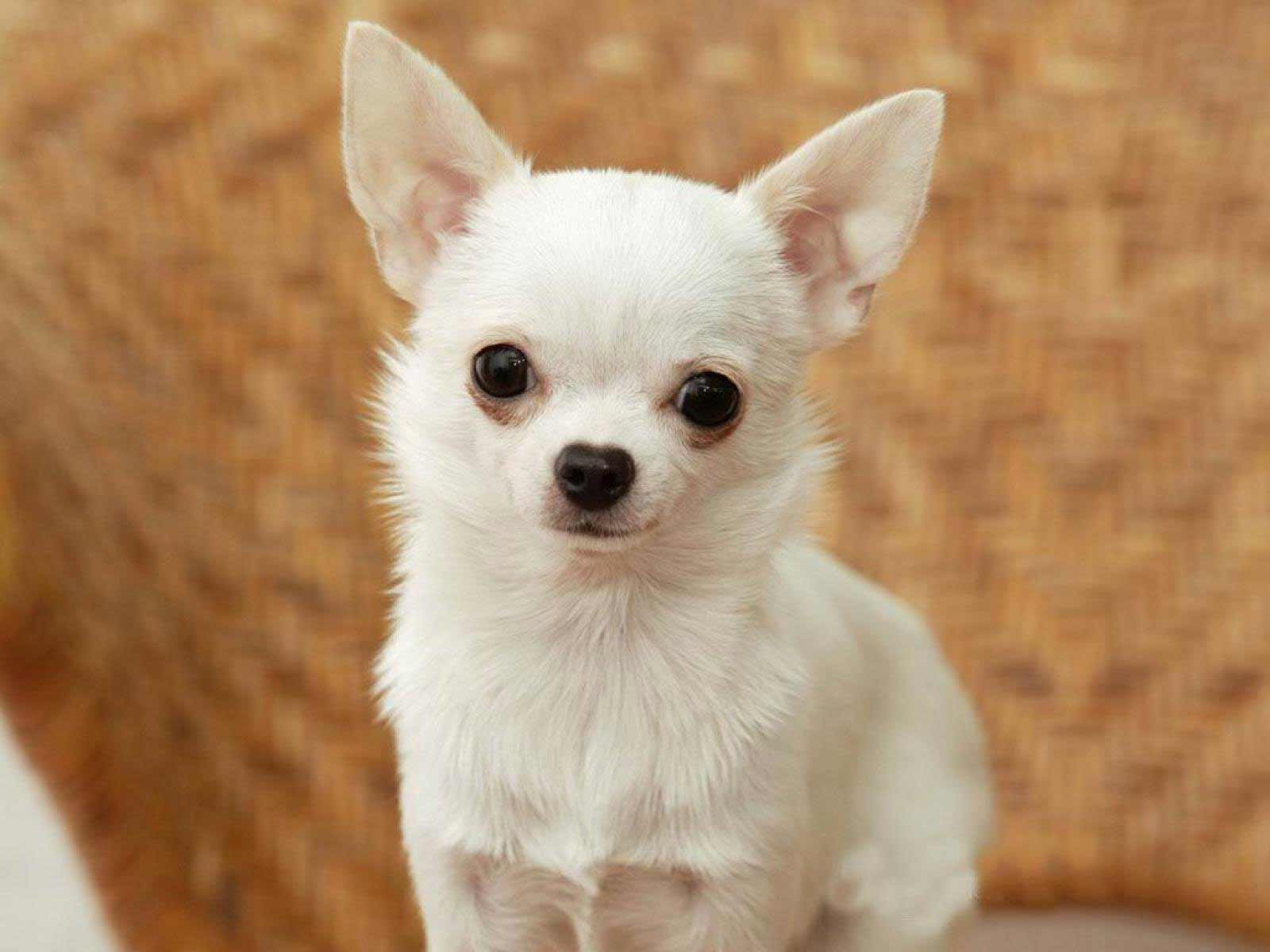 chihuahua dog breeder chihuahua dog breed 187 information pictures more 2142