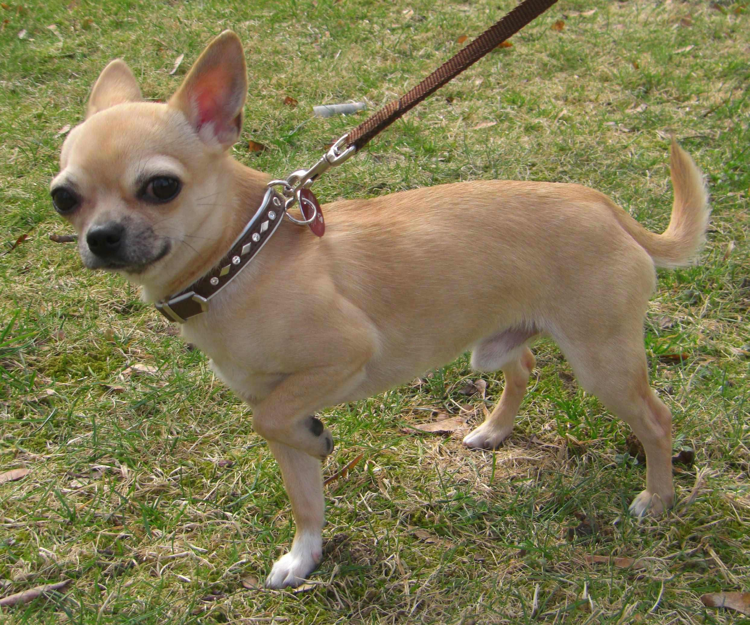 chihuahua dog breeder chihuahua dog breed 187 information pictures more 5868