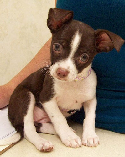 brown and white chihuahua chihuahua dog breed 187 information pictures more 9496