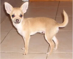 chihuahua heart murmur chihuahua dog breed 187 information pictures more 1521