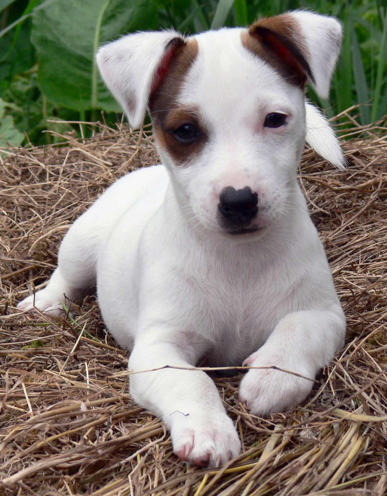 russell terrier breed jack russell terrier dog breed 187 information pictures more 6212