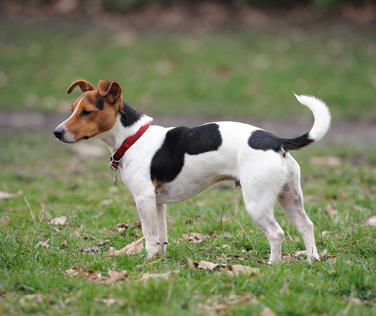 russell terrier breed jack russell terrier dog breed 187 information pictures more 3097
