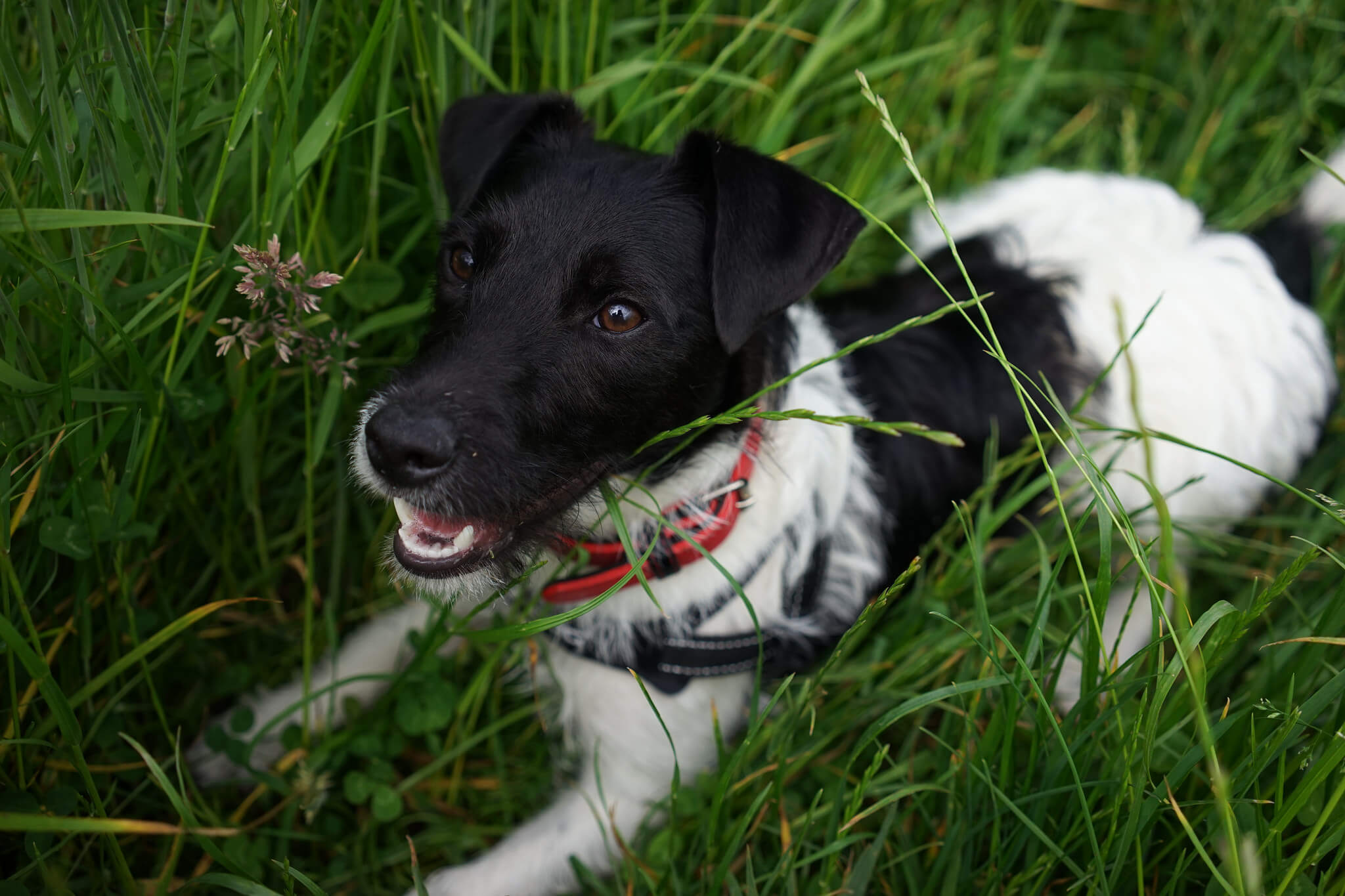 russell terrier breed patterjack dog breed 187 patterdale terrier jack russell mix 7288