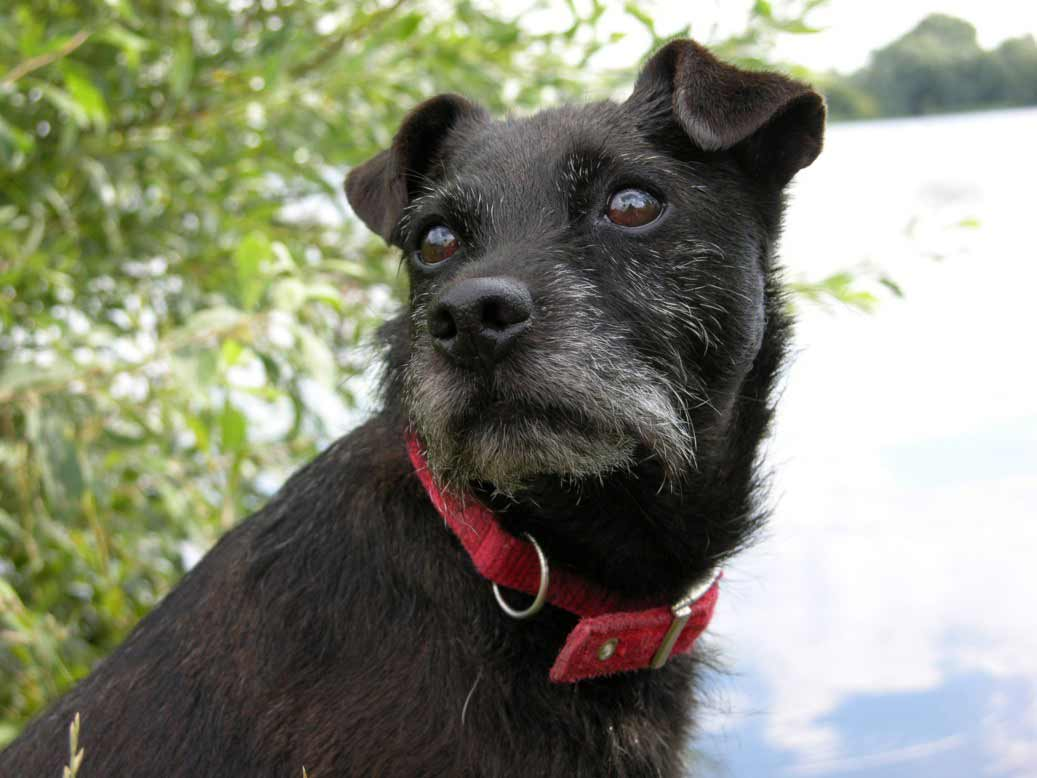 russell terrier breed patterjack dog breed 187 patterdale terrier jack russell mix 6237