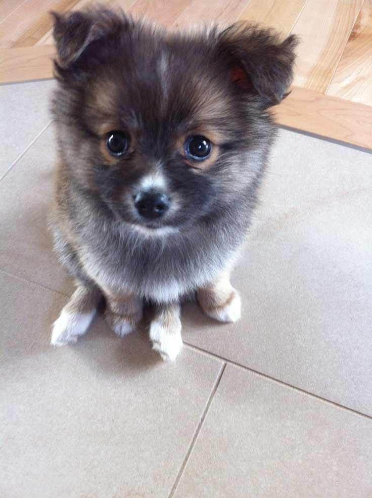 chihuahua pomeranian mix full grown pomchi dog breed 187 pomeranian chihuahua mix 7916