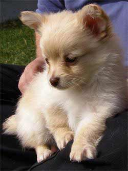 chihuahua pomeranian mix full grown pomchi dog breed 187 pomeranian chihuahua mix 8287