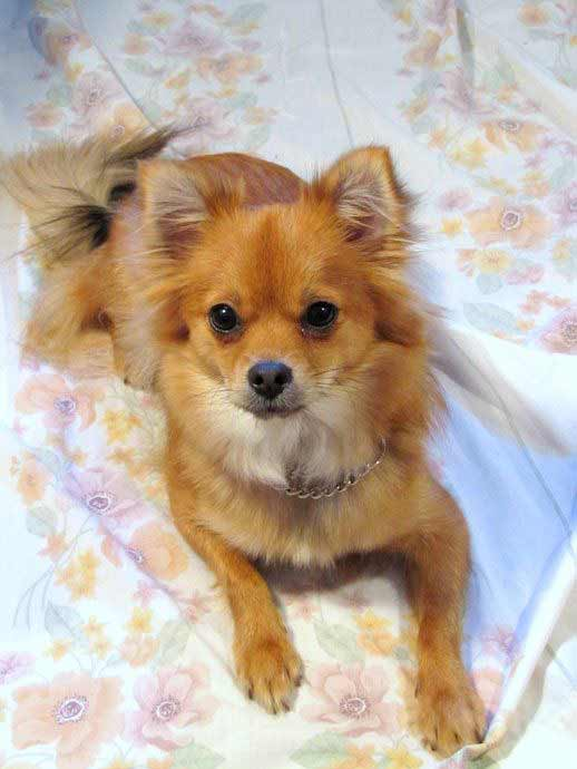 pomeranian chihuahua mix dog pomchi dog breed 187 pomeranian chihuahua mix 784