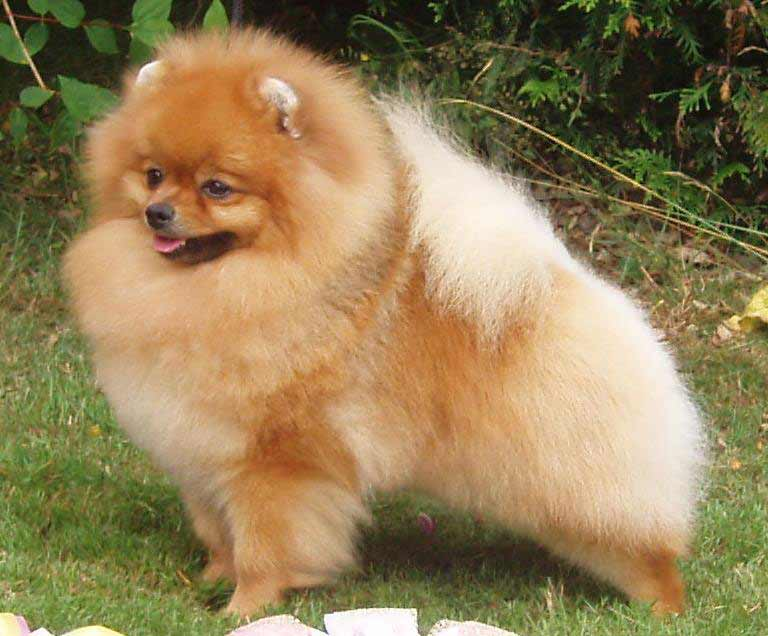 pomeranian intelligence pomeranian dog breed 187 information pictures more 9798