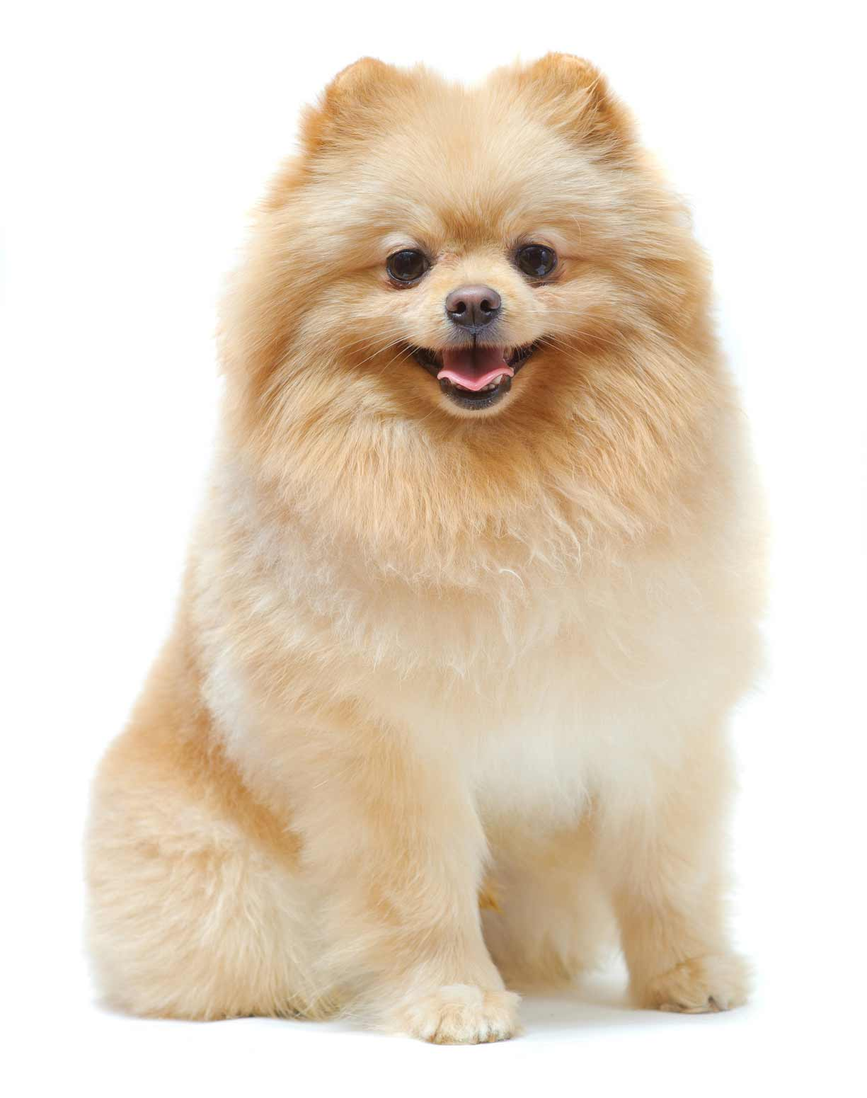 pomeranian intelligence pomeranian dog breed 187 information pictures more 8947