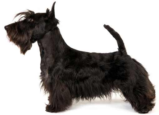 scottish terrier don t scottish terrier dog breed 187 information pictures more 3660