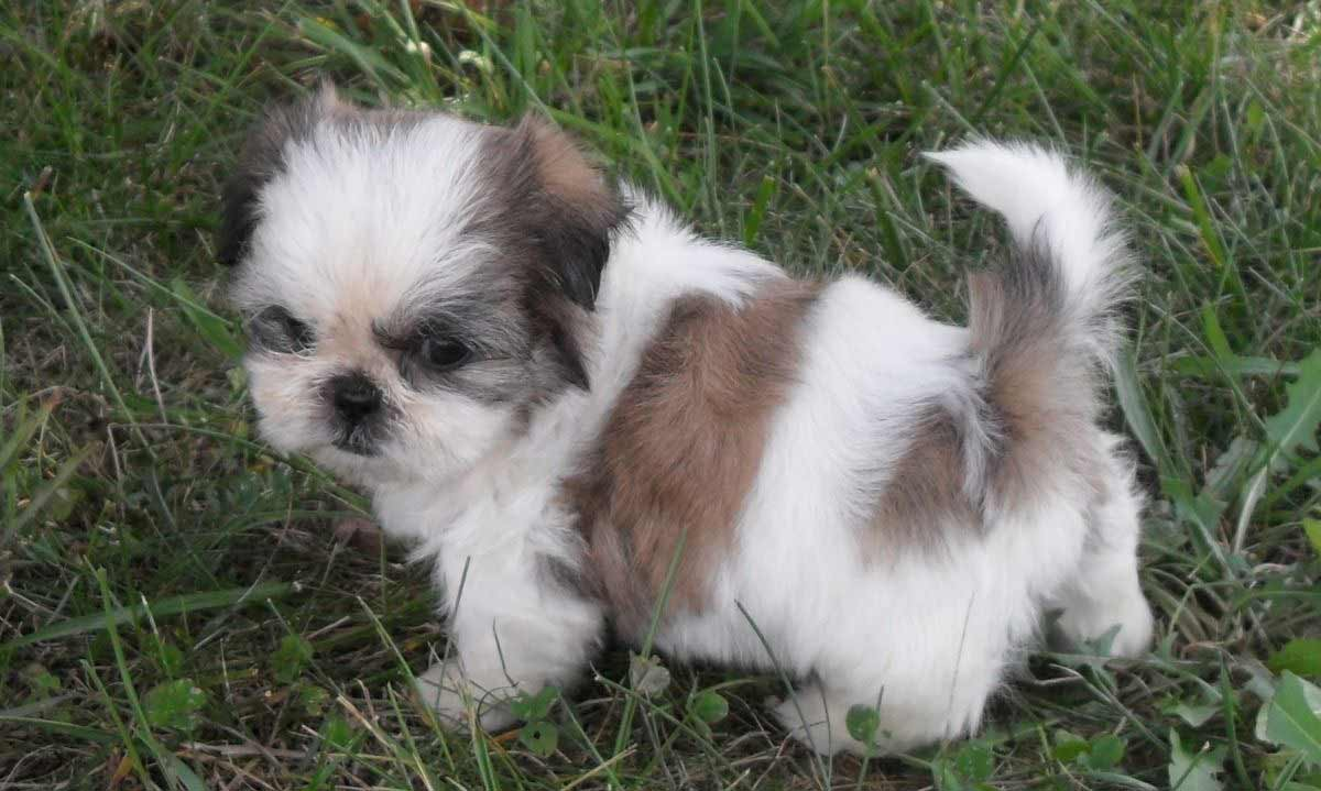 images of shih tzu dogs shih tzu dog breed 187 information pictures more 7455