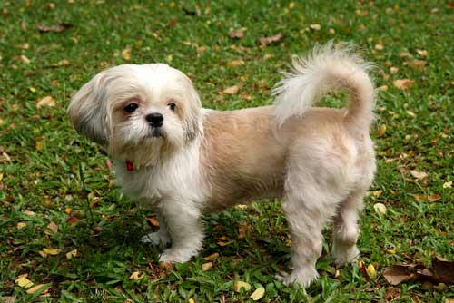 images of shih tzu dogs shih tzu dog breed 187 information pictures more 3930