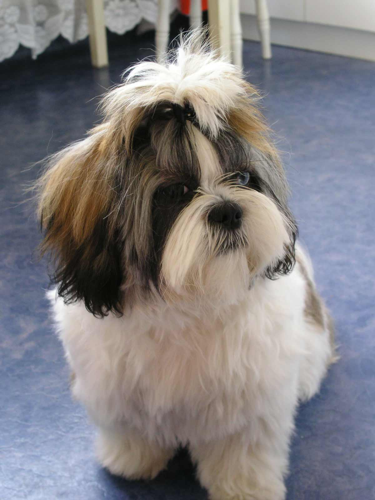 facts about shih tzu shih tzu dog breed 187 information pictures more 4836