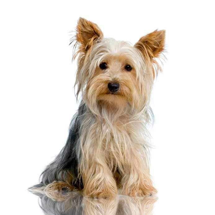 yorkie terrier breed yorkshire terrier dog breed 187 information pictures more 2171