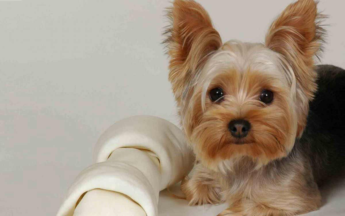 yorkie terrier breed yorkshire terrier dog breed 187 information pictures more 5086